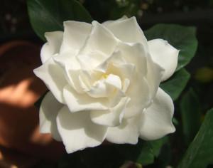 Gardenia -Signifiacdo -Imagen